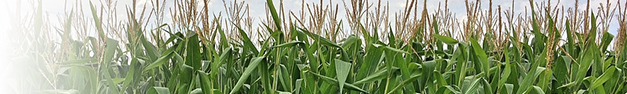 Corn-Field-404