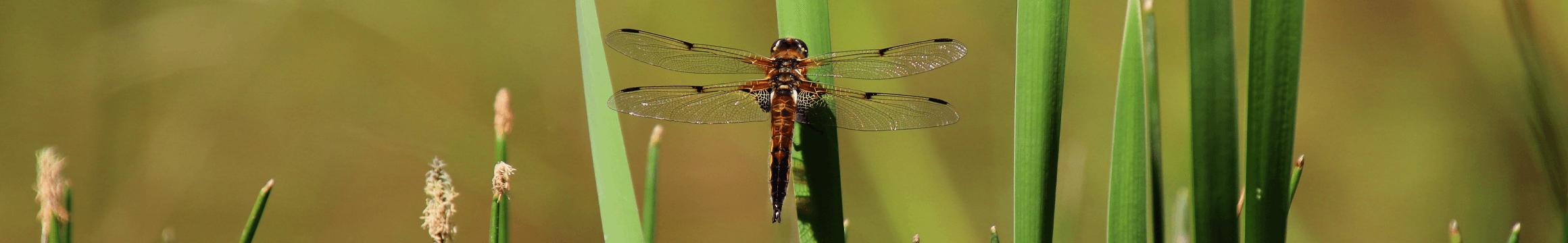 Dragonfly Sitting1