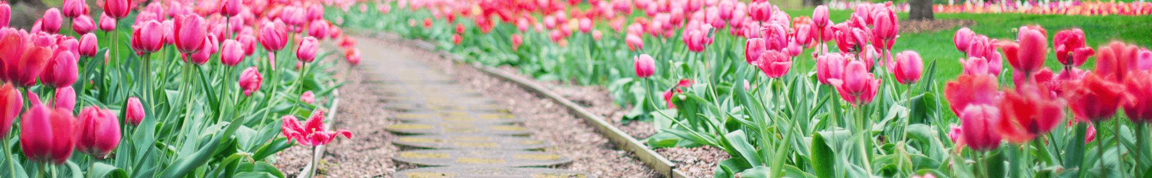 Tulip Garden1