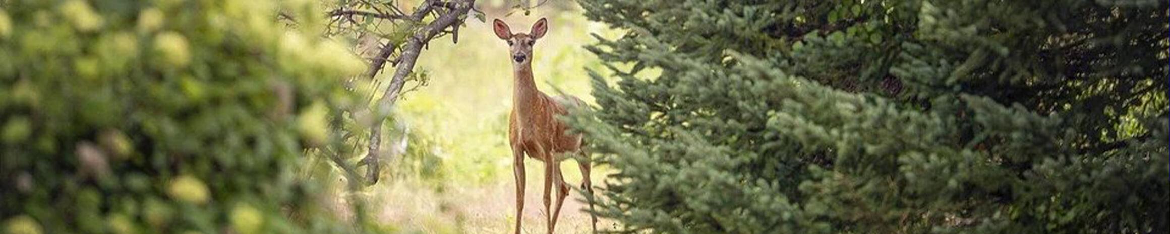 Deer Custom