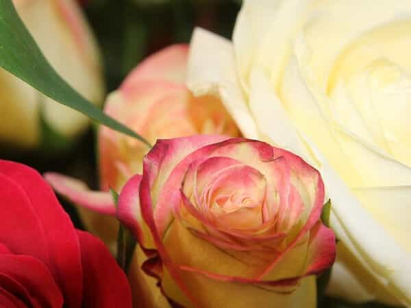 background image for white and pink roses