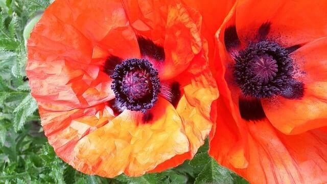 Military memorial Poppy flowers