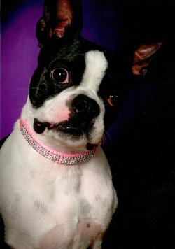 Morticia (The Boston Terrier)