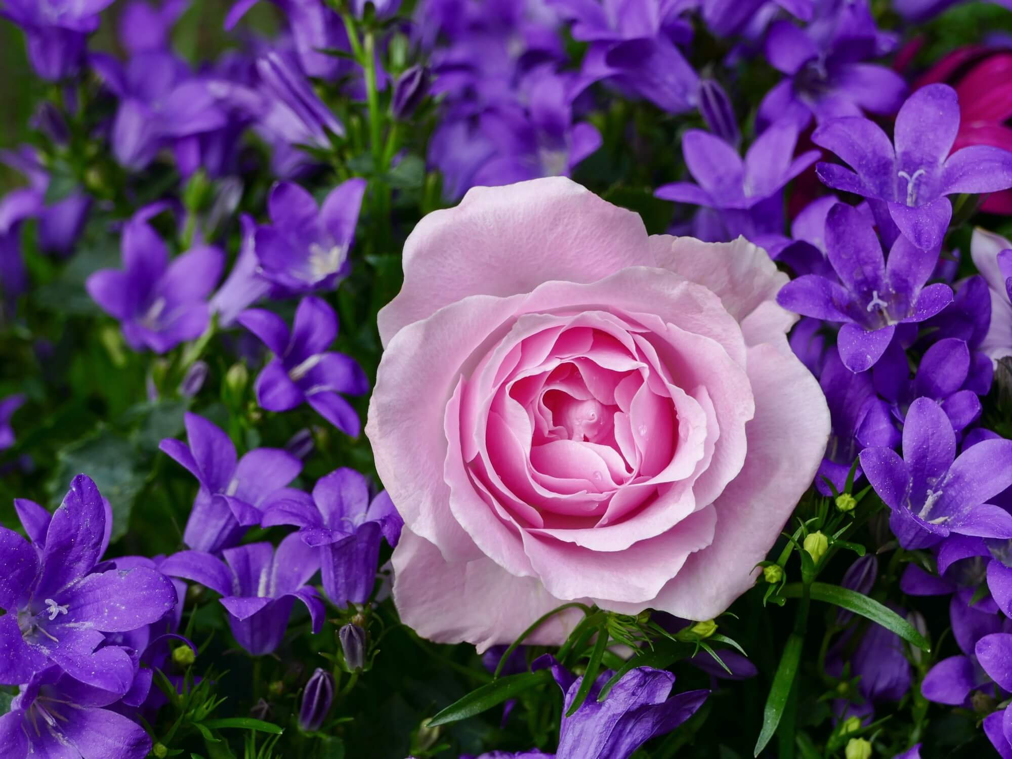 Image of Pink Rose with purple flowers in the background