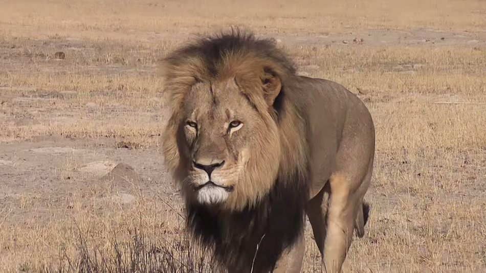 Dentist Illegally Kills Cecil the Lion