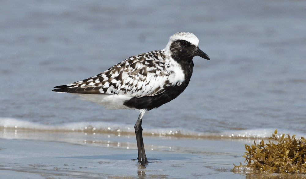 Share the Beach: Protecting At-Risk Shorebirds