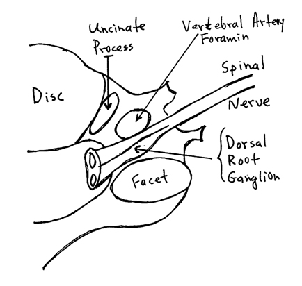 Immediately behind the vertebral artery are the spinal nerve root and the dorsal root ganglion.