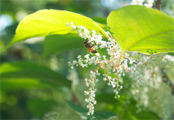 Japanese knotweed in bloom