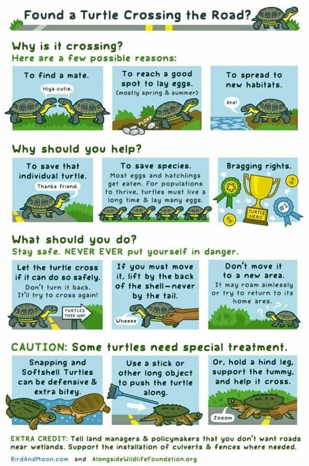 Turtle Infographic 2