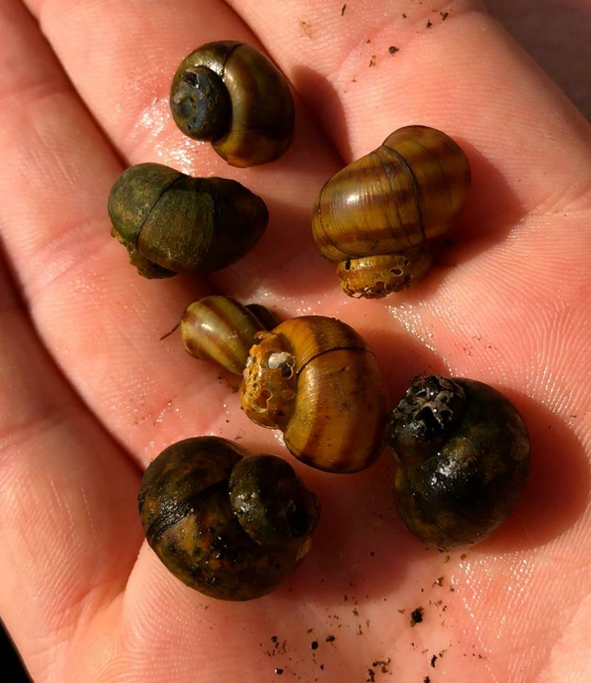 Chinese Mystery Snails