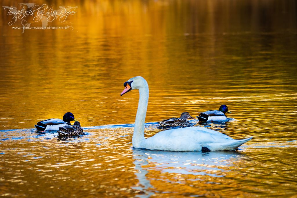 Ducks and swans on the pond at the Chateau at Camelback in golden hour light