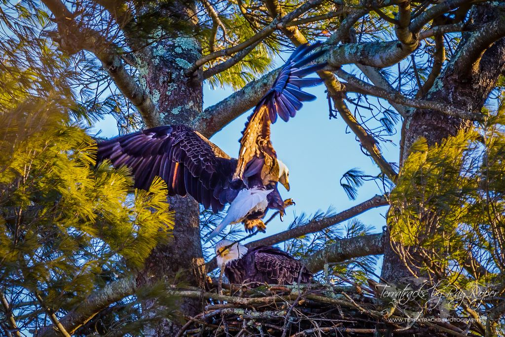Eagles at Forevergreen Nature Preserve, Analomink, Pennsylvania; in nest-building mode.