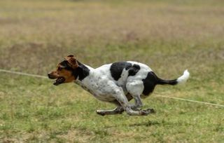 August earning his Coursing Ability Title June, 2015