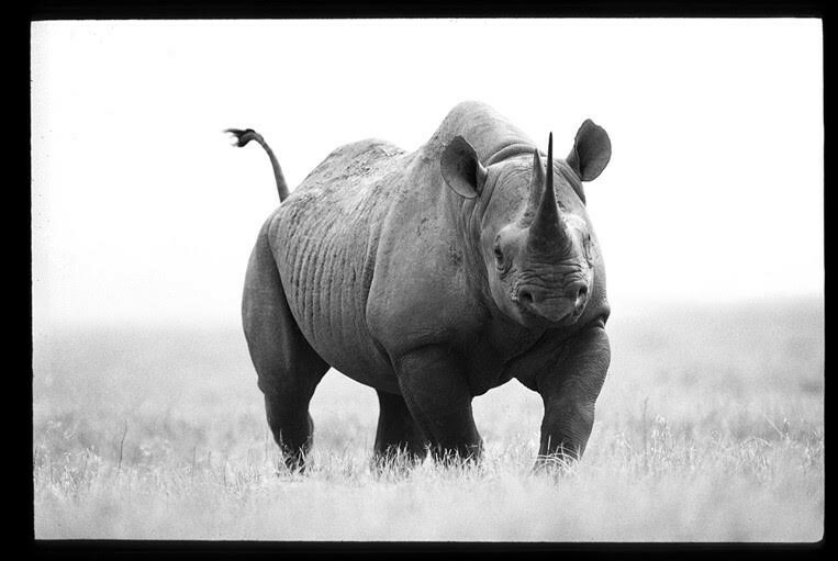 Jack Kenner photo of a rhino