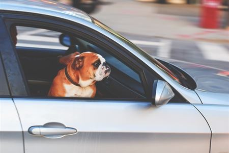 Picture of a dog riding in a car