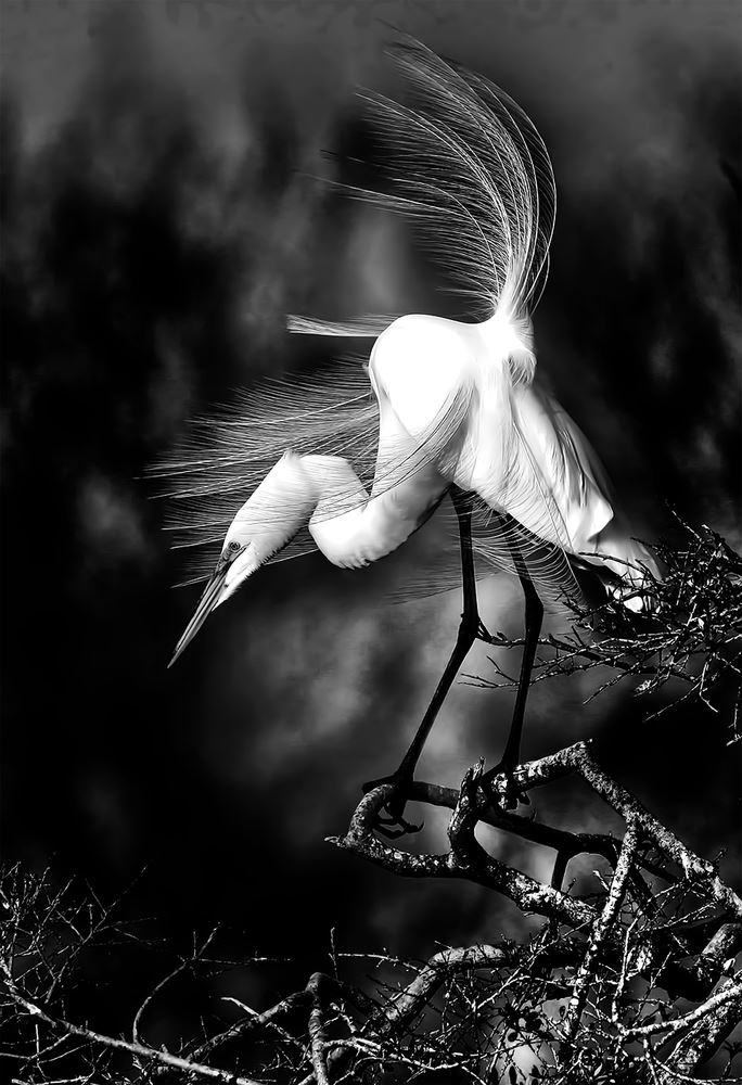 Windblown Great Egret