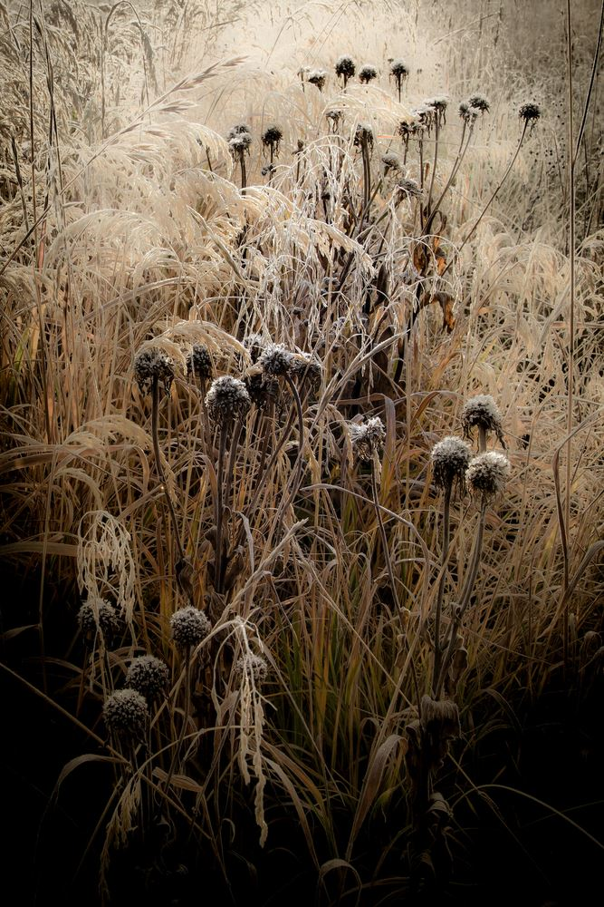 2020-02-Gold-Color-1st-Jerry-Clark-Fall-Grasses-in-Frosty-Morning_641940247.jpg