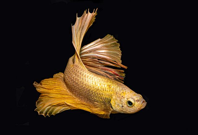 Golden Halfrock Betta