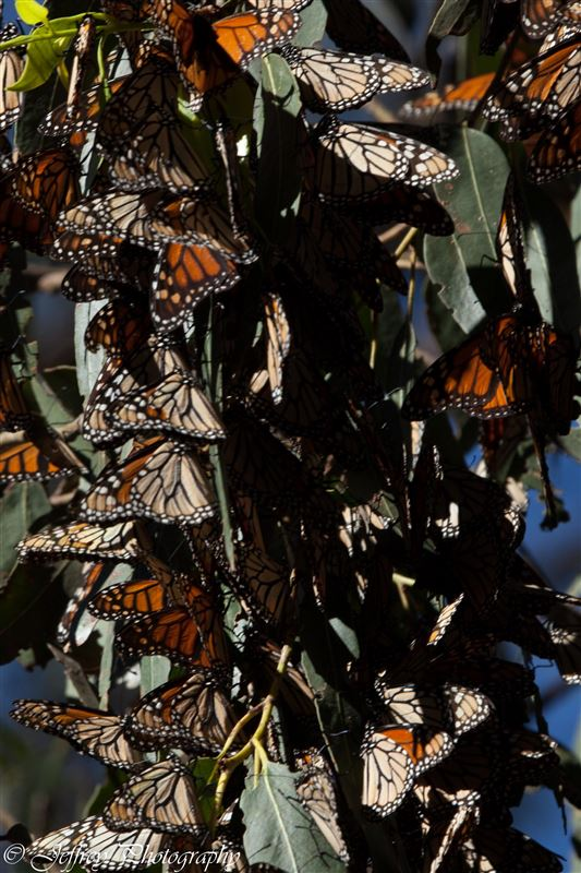 January 2014 Pismo Beach Monarch Grove