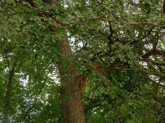 SQUIRREL IN THE TREE TOP