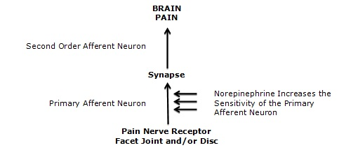 Important for this discussion, the threshold and sensitivity of the primary afferent neuron is influenced by a chemical called norepinephrine (noradrenaline). Norepinephrine is produced by post-ganglionic sympathetic neurons. Norepinephrine makes the primary afferent neuron more sensitive, or making more painful, increasing the pain electrical signal to the brain: