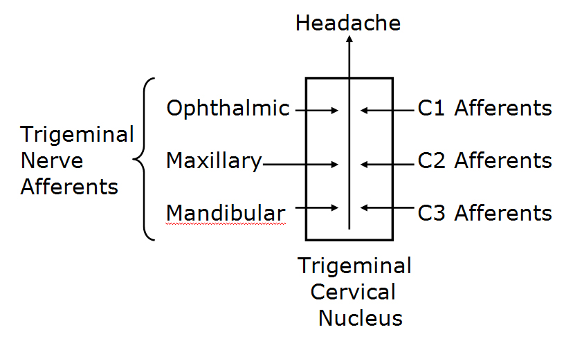 "Specifically, this means that all headaches, including migraine headaches, synapse in the upper aspect of the neck, in a location termed the trigeminocervical nucleus. The brainstem and the upper cervical spinal cord contain a contiguous region of grey matter, the trigeminocervical nucleus.  The trigeminocervical nucleus is ""defined by its afferent fibers."" The primary afferent fibers to the nucleus are from the Trigeminal Nerve (Cranial Nerve V), and from the upper three cervical nerves (C1, C2, C3), and hence the name trigeminocervical nucleus. All headaches synapse in the trigeminocervical nucleus. Second order afferent neurons arising in the trigeminocervical nucleus ascend to create an electrical signal in the brain that is interpreted as ""headache."""
