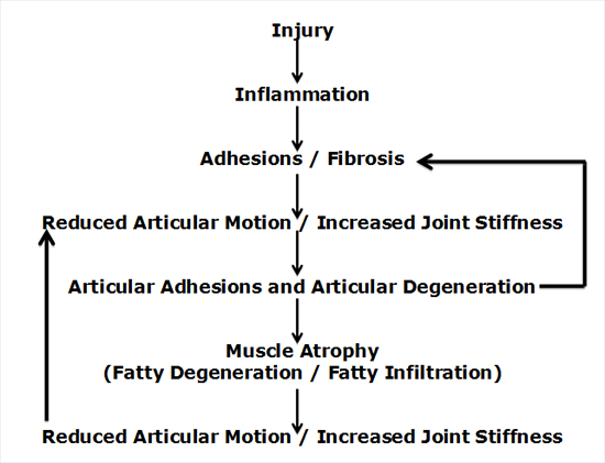 "Tissue injury/trauma results in an inflammatory cascade (1, 2). This inflammatory cascade alters the threshold of the tissue nociceptors, which is why tissue injury is usually painful (3). The resolution of this inflammatory cascade is fibrosis/scar, a fibrous tissue response (4, 5, 6, 7, 8, 9, 10, 11, 12, 13, 14). This tissue fibrosis/scar will ""limit the mobility of joints."" This concept is succinctly stated by Harvard Medical School professors Stanley Robbins, MD, and Ramzi Cotran, MD (7):"
