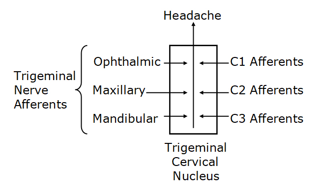 In this article, Dr. Bogduk notes that all headaches have a common anatomy and physiology in that they are all mediated by the trigeminocervical nucleus. The trigeminocervical nucleus is a region of grey matter in the medulla of the brainstem that descends into the upper cervical spinal cord. The trigeminocervical nucleus receives afferents from all three branches (ophthalmic, maxillary, mandibular) of the trigeminal nerve (cranial nerve V), as well as afferents from nerve roots C1, C2, and C3.