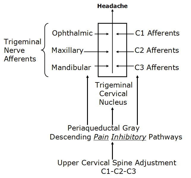 Spinal manipulation of the upper cervical spine activates the Descending Pain Inhibitory pathway through the Periaqueductal Grey of the midbrain.