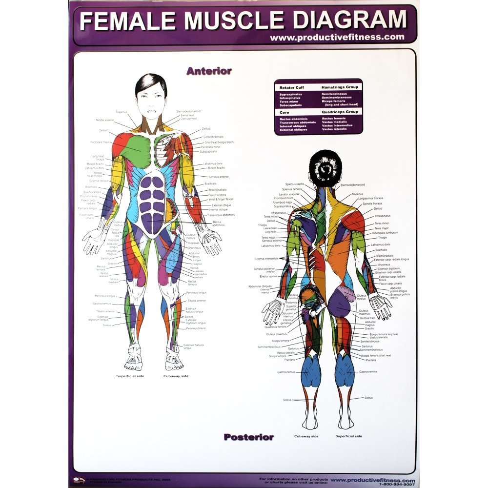 Productive fitness poster series muscle diagram female female muscle diagram poster ccuart Images