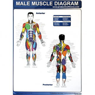 Productive Fitness Poster Male Muscle Diagram Laminated Health