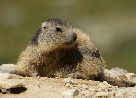 science-marmot-research-earthwatch