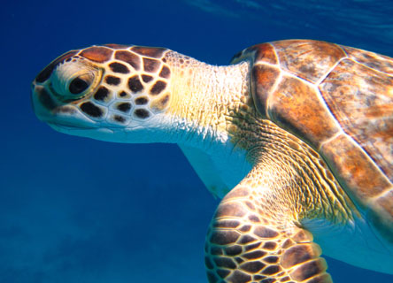 turtle-earthwatch-research-science