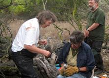 Research volunteers measuring African penguin