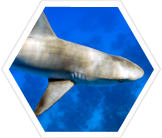 Help determine exactly how and why marine reserves strengthen shark populations.