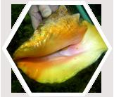 Queen Conch, Belize