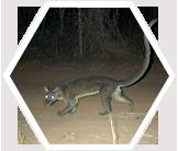 Fosa, Madagascar