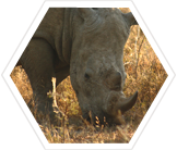 White Rhinoceros, South Africa