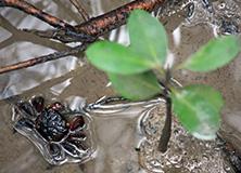 Crab in Australian mangrove