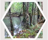 Mangrove Forest, Daintree River, Australia