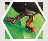 Caterpillar in Costa Rica