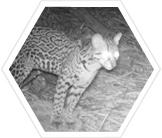 Tracking ocelots in trinidad