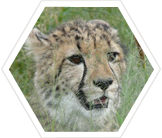 Cheetah Conservation in Namibia