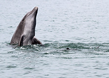 Dolphin breaching, Costa Rica