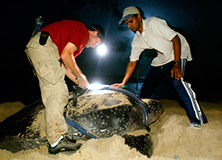 Volunteer turtle conservation program, Trinidad