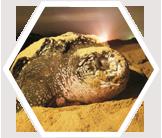 Nesting leatherback turtle. Trinidad