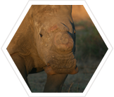 Researchers are studying the effects of de-horning rhinos on their behavior