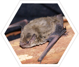 Study microbats in Melbourne