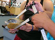 Scientist taking biological measurements of a diamondback terrapin