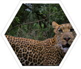 Wild leopard photographed by a camera trap
